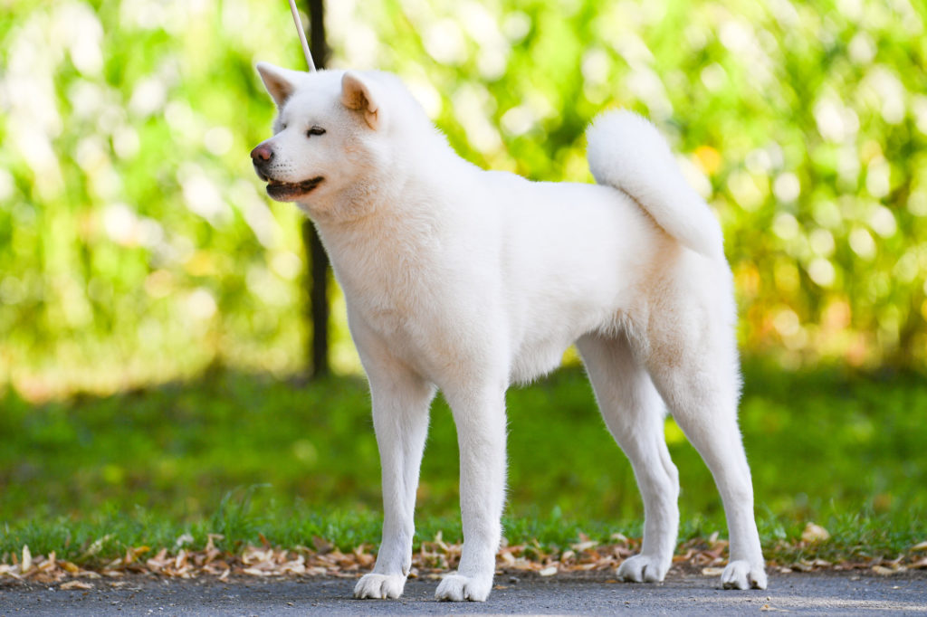 Wakeshima sakura No Sono - japanese akita inu - Excellent 1, CAC champion interchampion
